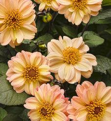 Dahlightful® Georgia Peach - Dahlia variabilis