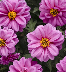 Dahlightful® Lively Lavender - Dahlia variabilis