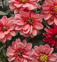 Dahlightful® Sultry Scarlet - Dahlia variabilis
