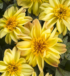 Dahlightful® Tupelo Honey - Dahlia variabilis