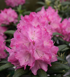 Dandy Man® Pink - Rhododendron x