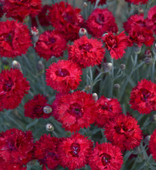 Fruit Punch® 'Maraschino' - Pinks - Dianthus hybrid
