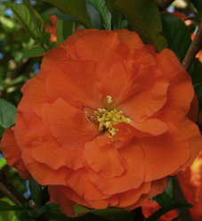Double Take Orange™ - Quince - Chaenomeles speciosa
