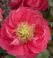 Double Take Pink™ - Quince - Chaenomeles speciosa