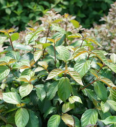 Shiny Dancer® - Viburnum x