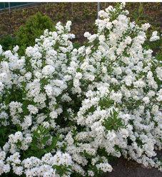 Snow Day® Surprise - Pearl-bush - Exochorda hybrid