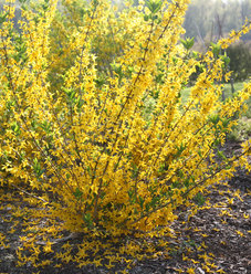 Flying Machine® - Forsythia koreana