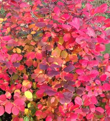 Legend Of The Fall® - Bottlebrush - Fothergilla x intermedia