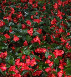 Surefire® Red - Begonia benariensis