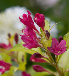 Sonic Bloom® Ghost® - Weigela florida