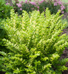 Golden Ticket® - Privet - Ligustrum x vicaryi
