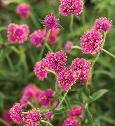Truffula™ Pink - Globe Amaranth - Gomphrena pulchella