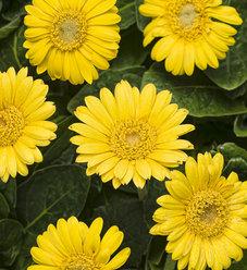 Hello! Sunshine - Gerbera Daisy - Gerbera hybrid