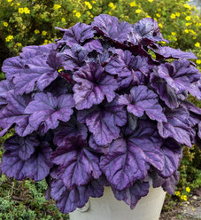 Dolce® Wildberry - Coral Bells - Heuchera hybrid