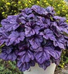 Dolce® Wildberry - Coral Bells - Heuchera hybrid