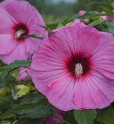 Summerific® Evening Rose - Rose Mallow - Hibiscus hybrid