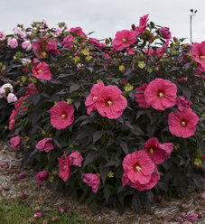 Summerific® 'Evening Rose' - Rose Mallow - Hibiscus hybrid