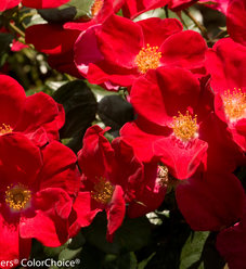 Home Run® - Landscape Rose - Rosa x