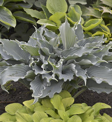 Shadowland® 'Waterslide' - Hosta hybrid