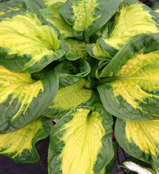 Shadowland® 'Etched Glass' - Hosta hybrid