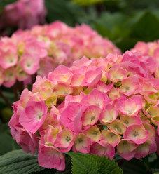 Let's Dance® Big Easy® - Reblooming hydrangea - Hydrangea macrophylla