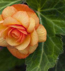 Illumination® Apricot Shades - Tuberous Begonia - Begonia x tuberhybrida
