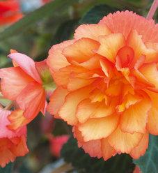 Illumination® Golden Picotee - Tuberous Begonia - Begonia x tuberhybrida