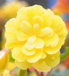 Illumination® Lemon - Tuberous Begonia - Begonia x tuberhybrida