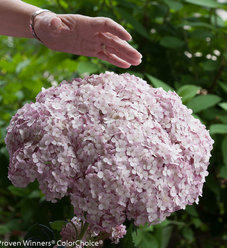 Incrediball® Blush - Smooth hydrangea - Hydrangea arborescens