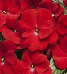 Infinity® Red - New Guinea Impatiens - Impatiens hawkeri