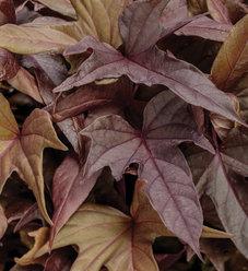 Sweet Caroline Red Hawk - Ornamental Sweet Potato Vine - Ipomoea hybrid
