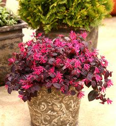 Jazz Hands® Dwarf Pink - Chinese fringe-flower - Loropetalum chinense