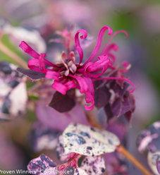 Jazz Hands Variegated® - Chinese fringe-flower - Loropetalum chinense