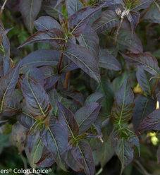 Kodiak® Black - Diervilla rivularis