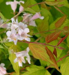 Dream Catcher® - Beauty Bush - Kolkwitzia amabilis