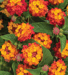 Luscious® Citrus Blend™ Improved - Lantana camara