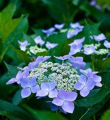 Let's Dance® Starlight - Bigleaf Hydrangea - Hydrangea macrophylla