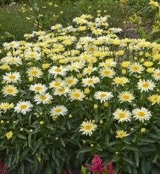 Amazing Daisies® 'Banana Cream' - Shasta Daisy - Leucanthemum superbum