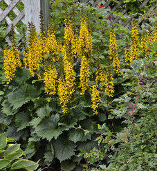 'Bottle Rocket' - Ligularia hybrid