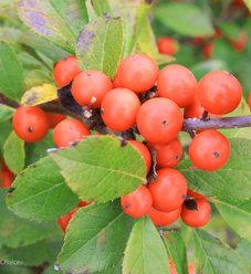 Little Goblin® Orange - Winterberry Holly - Ilex verticillata