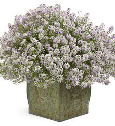 Blushing Princess® - Sweet Alyssum - Lobularia hybrid