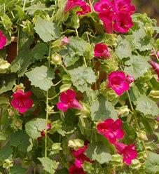 Lofos® Compact Rose - Lophospermum hybrid