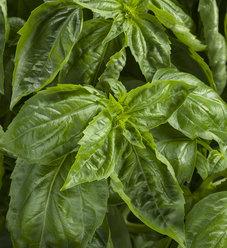 Amazel Basil™ - Ocimum hybrid