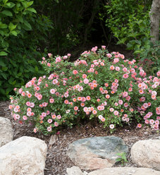 Oso Easy® Petit Pink - Landscape Rose - Rosa x
