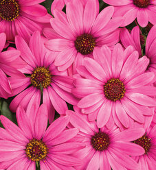 Bright Lights™ Berry Rose - African Daisy - Osteospermum hybrid