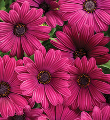 Bright Lights™ Purple - African Daisy - Osteospermum hybrid