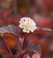 Ginger Wine® - Ninebark - Physocarpus opulifolius