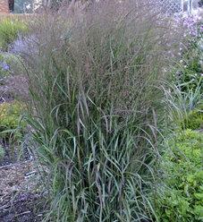 Prairie Winds® 'Apache Rose' - Switch Grass - Panicum virgatum