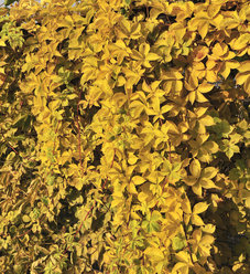 'Yellow Wall' - Virginia Creeper - Parthenocissus quinquefolia