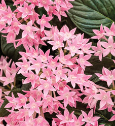 Sunstar™ Pink - Egyptian Star Flower - Pentas lanceolata